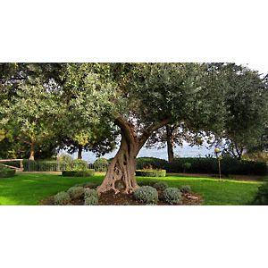 Где выращивают оливки в СНГ?>